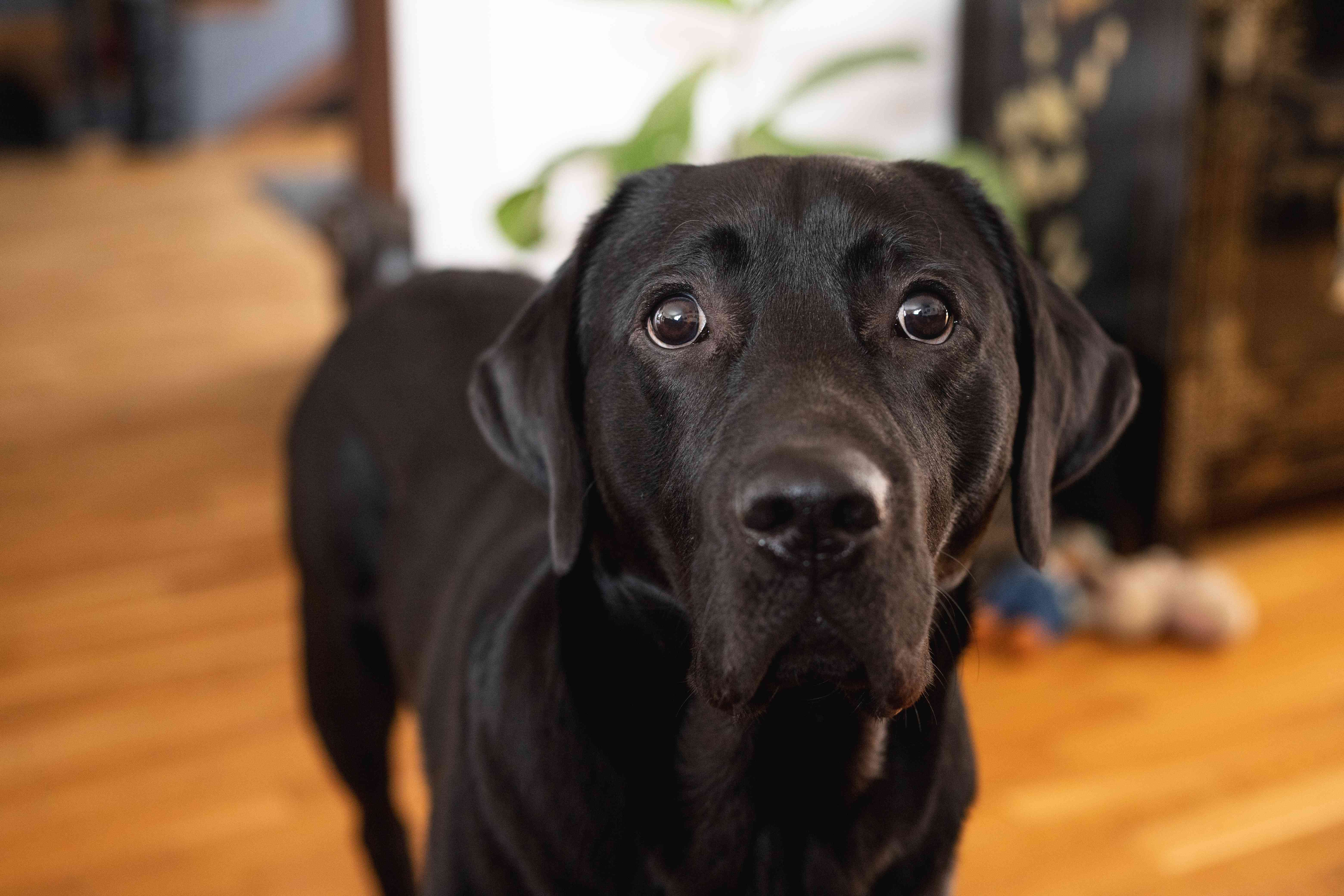 dog stares intently at camera while inside house