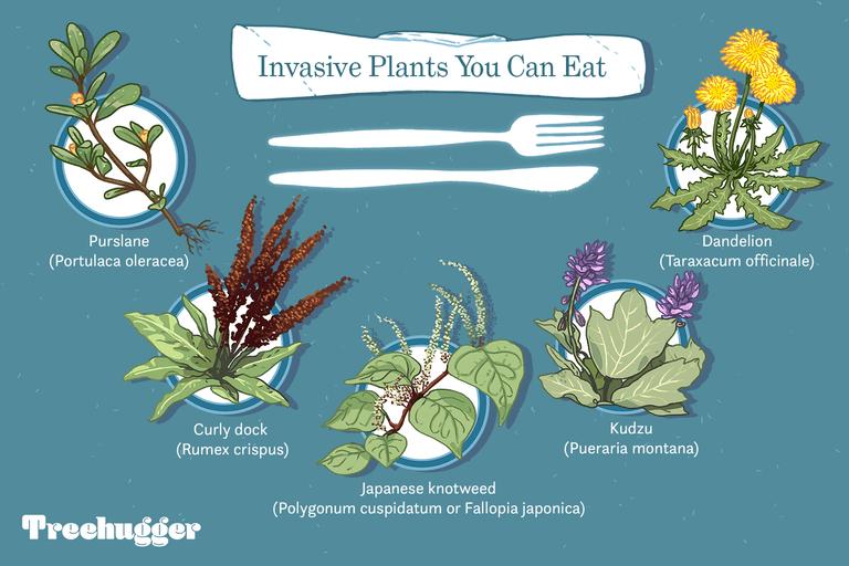 invasive plants you can eat illo