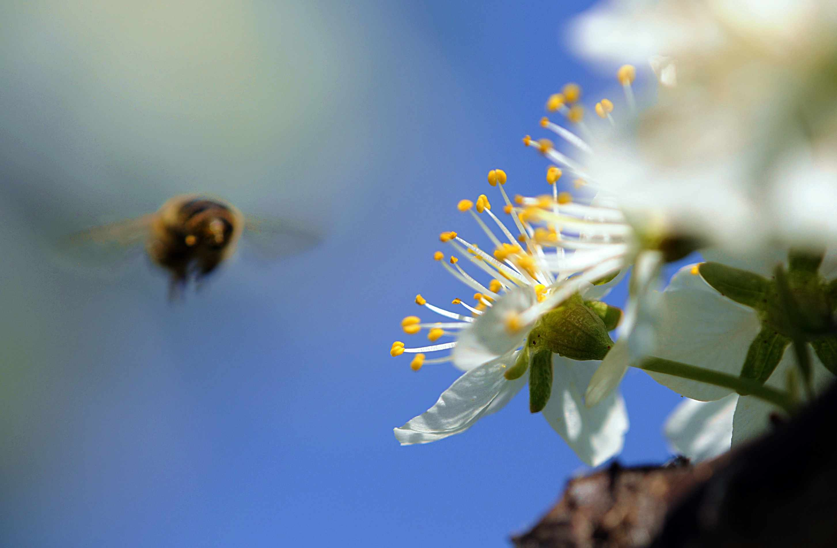 Action shot of a bee flying towards white flowers.