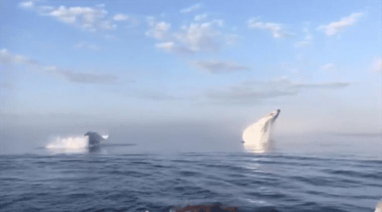 Impresionante video captura una triple fuga de ballenas frente a la costa de Nueva Escocia