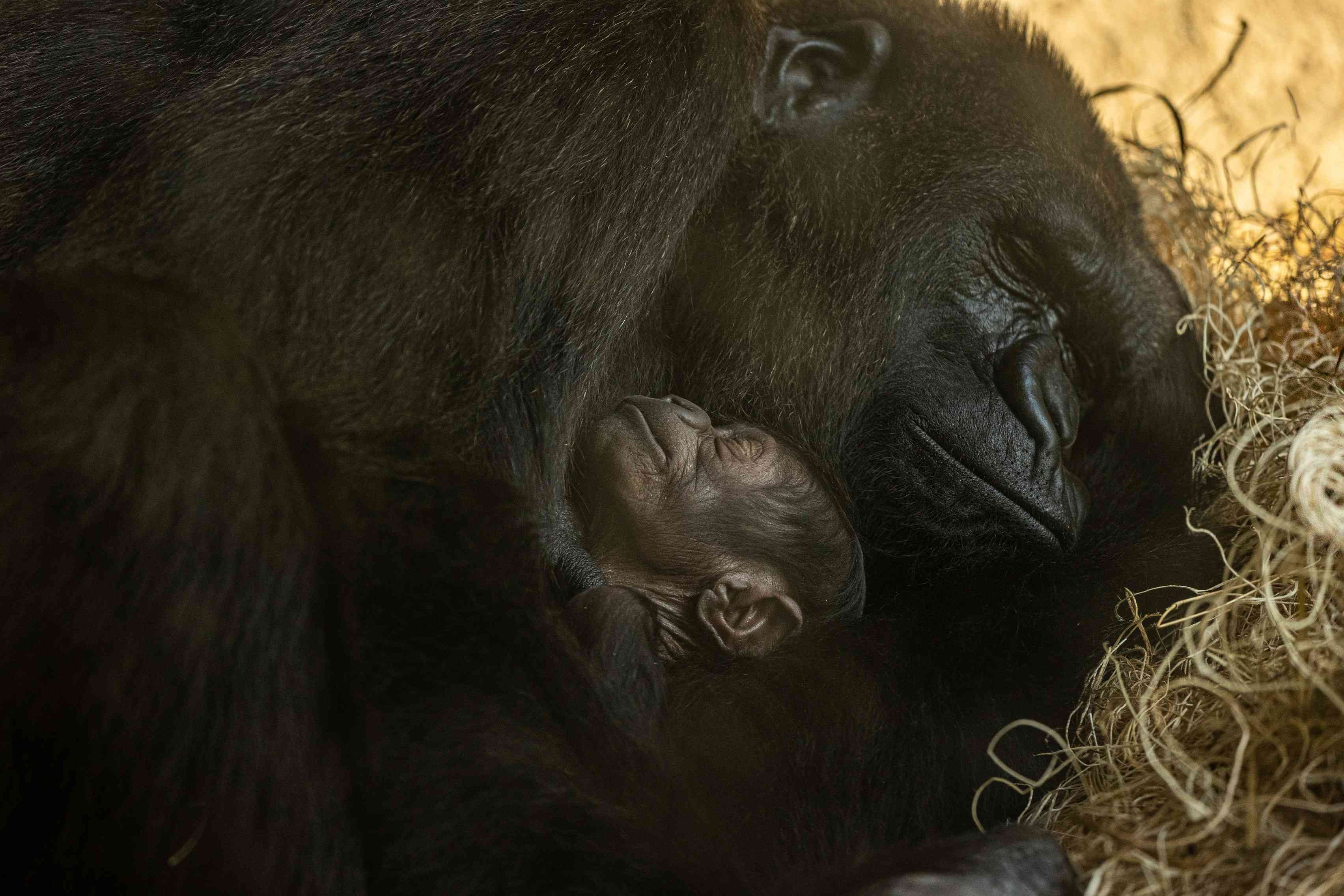 baby gorilla with mom, Madini