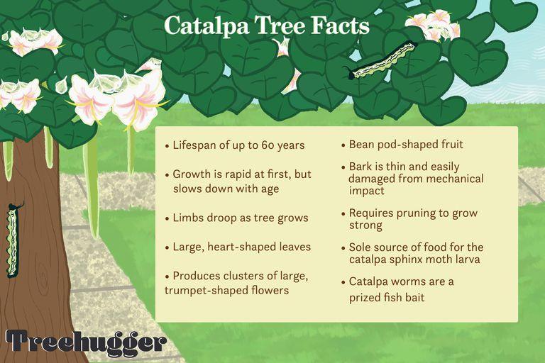 Catalpa Tree Facts illustration