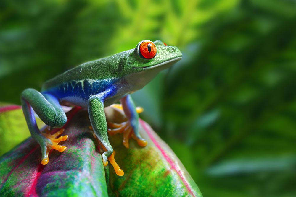 Red-eyed tree frog sitting on green leaf