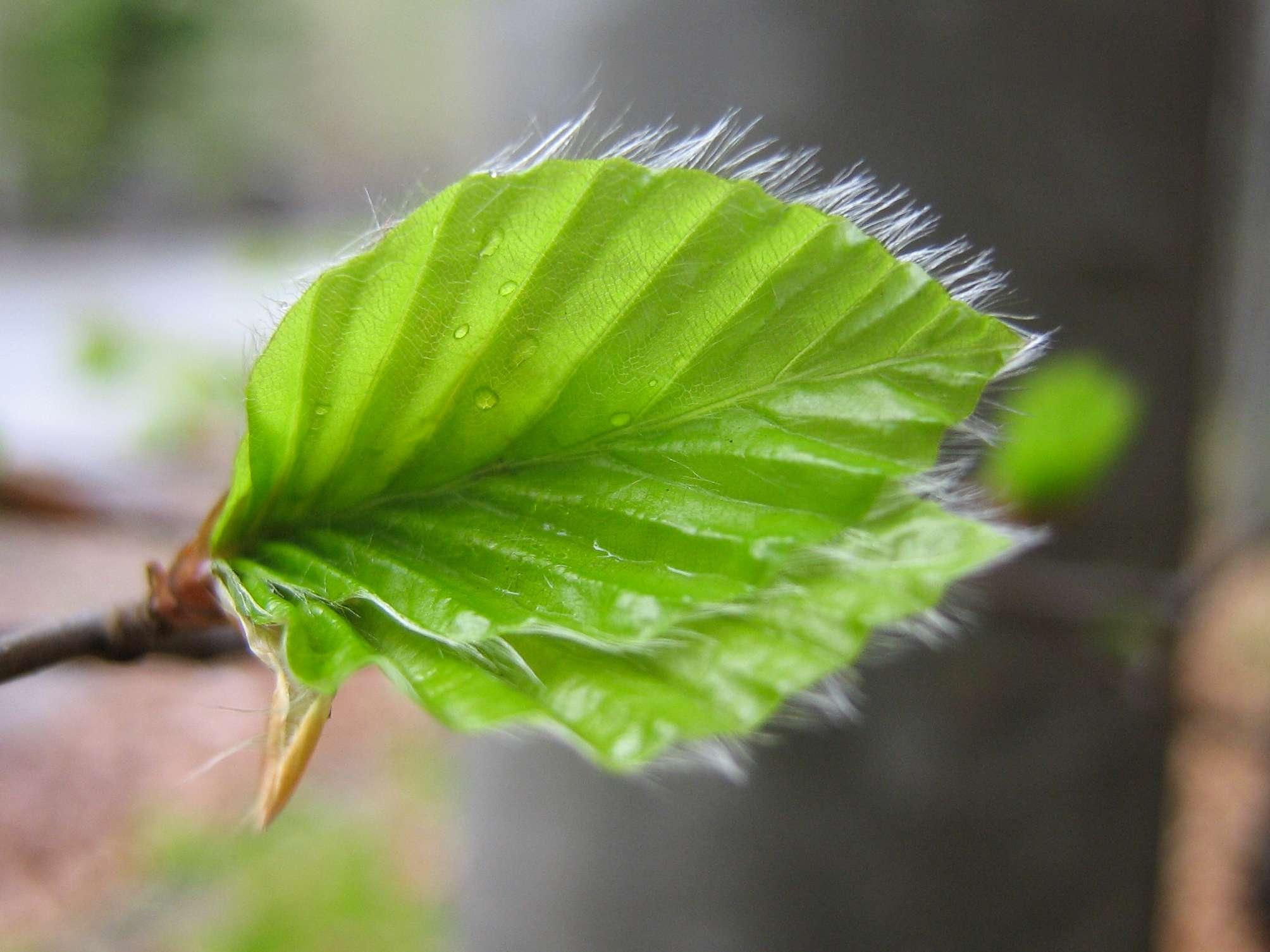 closeup macro shot of green leaf with furry white trim