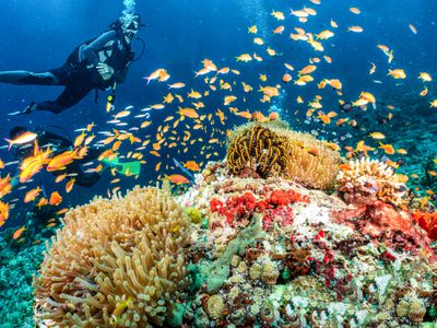 scuba diver with a school of bright orange fish on a vibrant coral reef filled with hard and soft coral