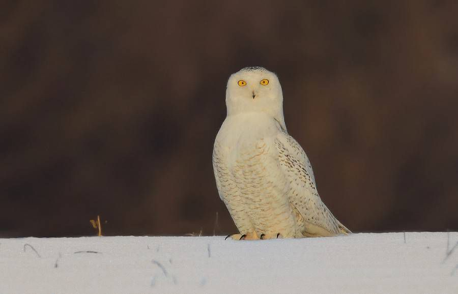 snowy owl look