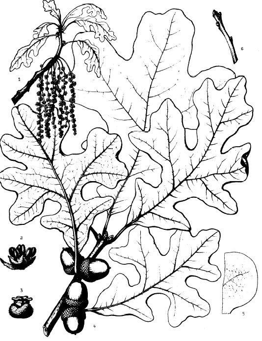 Post Oak, Quercus stellata