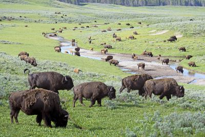 Closeup herd of Bison covering a field in Yellowstone.