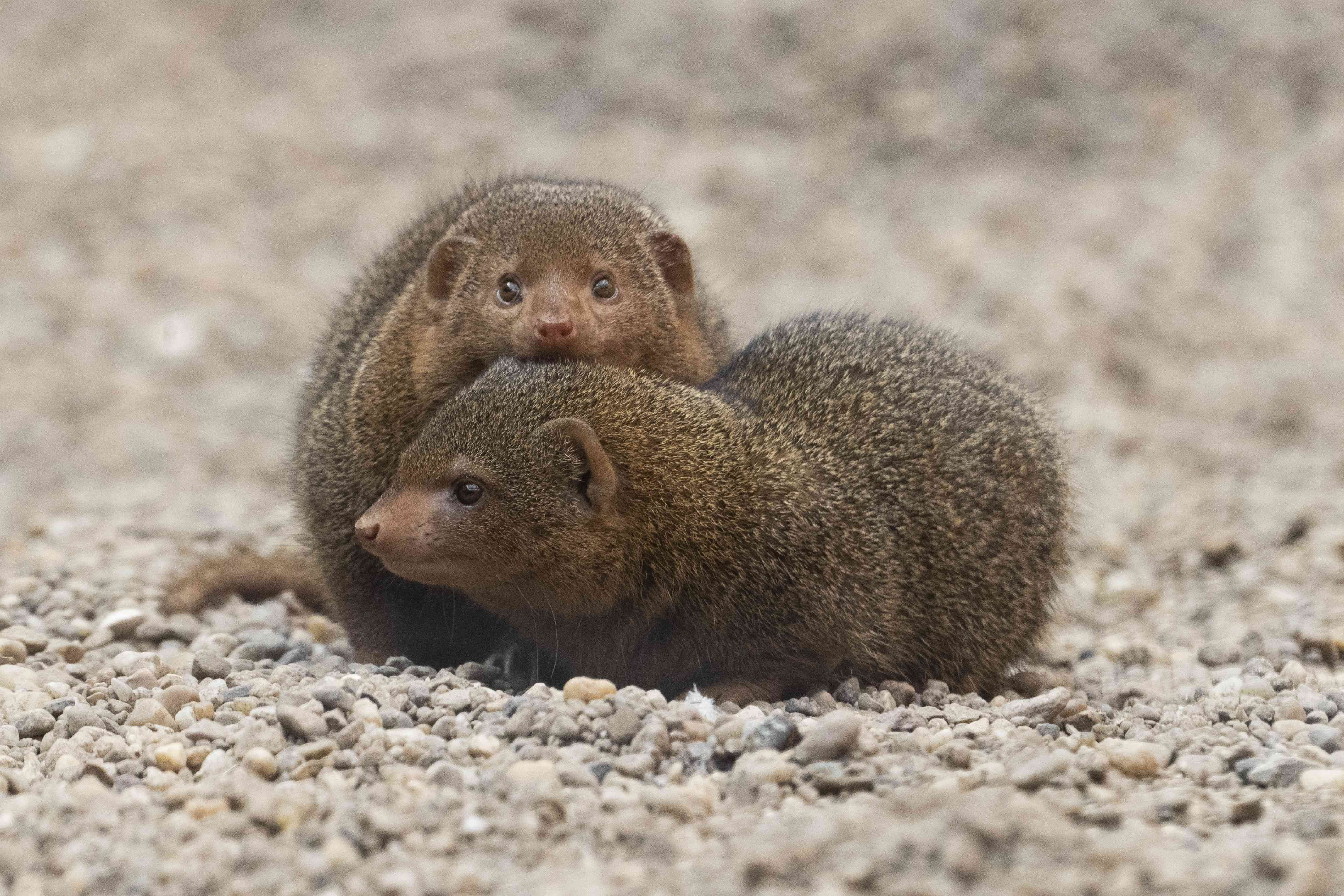 Pair of Mongooses