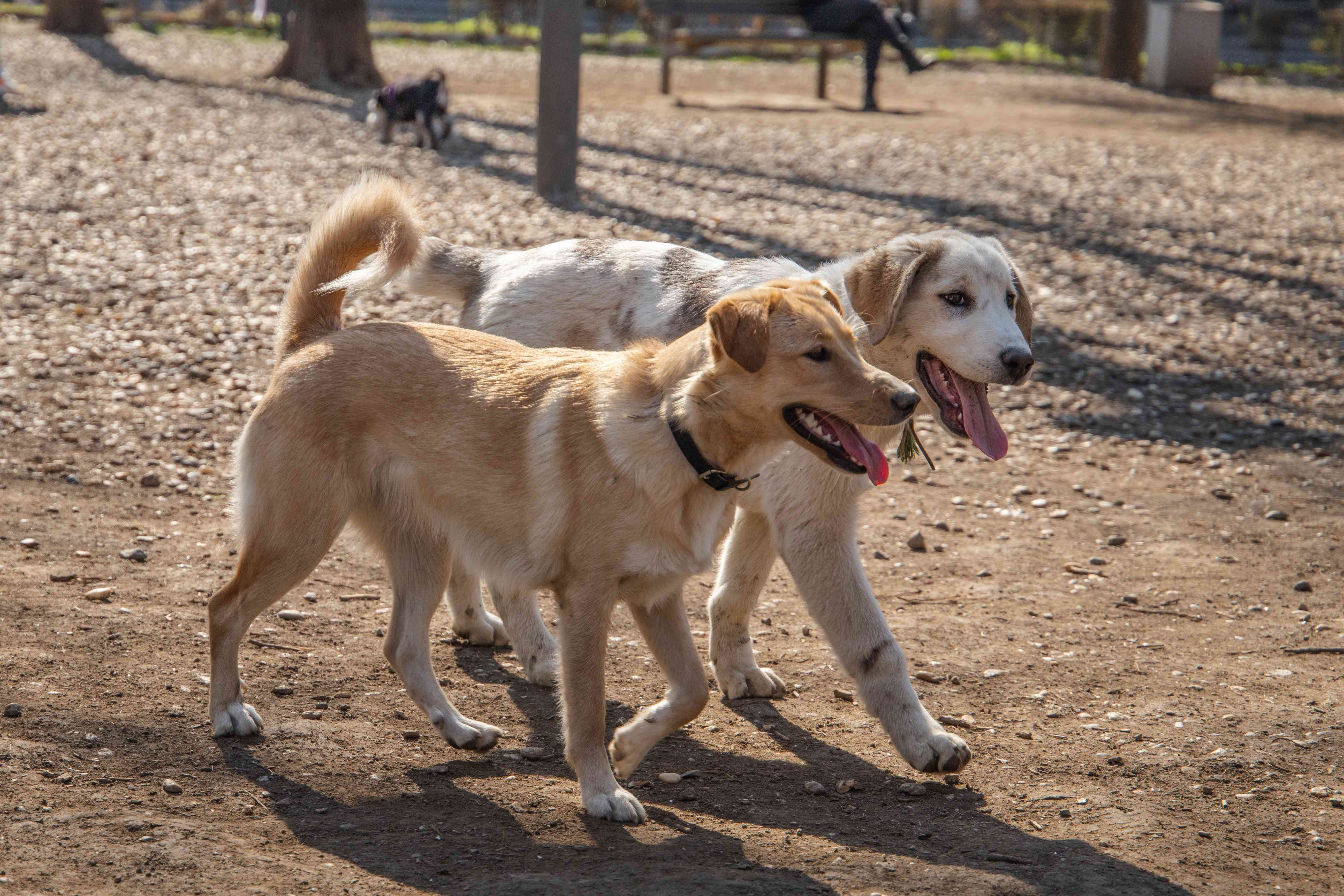 Two large tan mixed breed dogs run along side by side in dog park