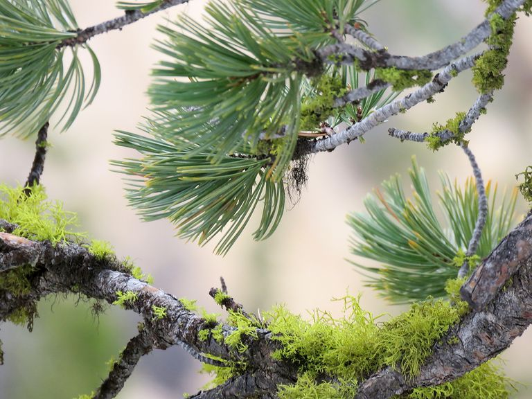 pine tree branches in tight focus with bright green moss growing