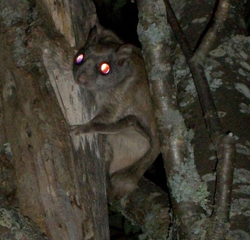 flying squirrel eyeshine