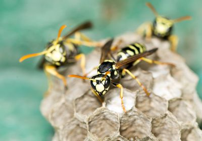 three wasps on a nest