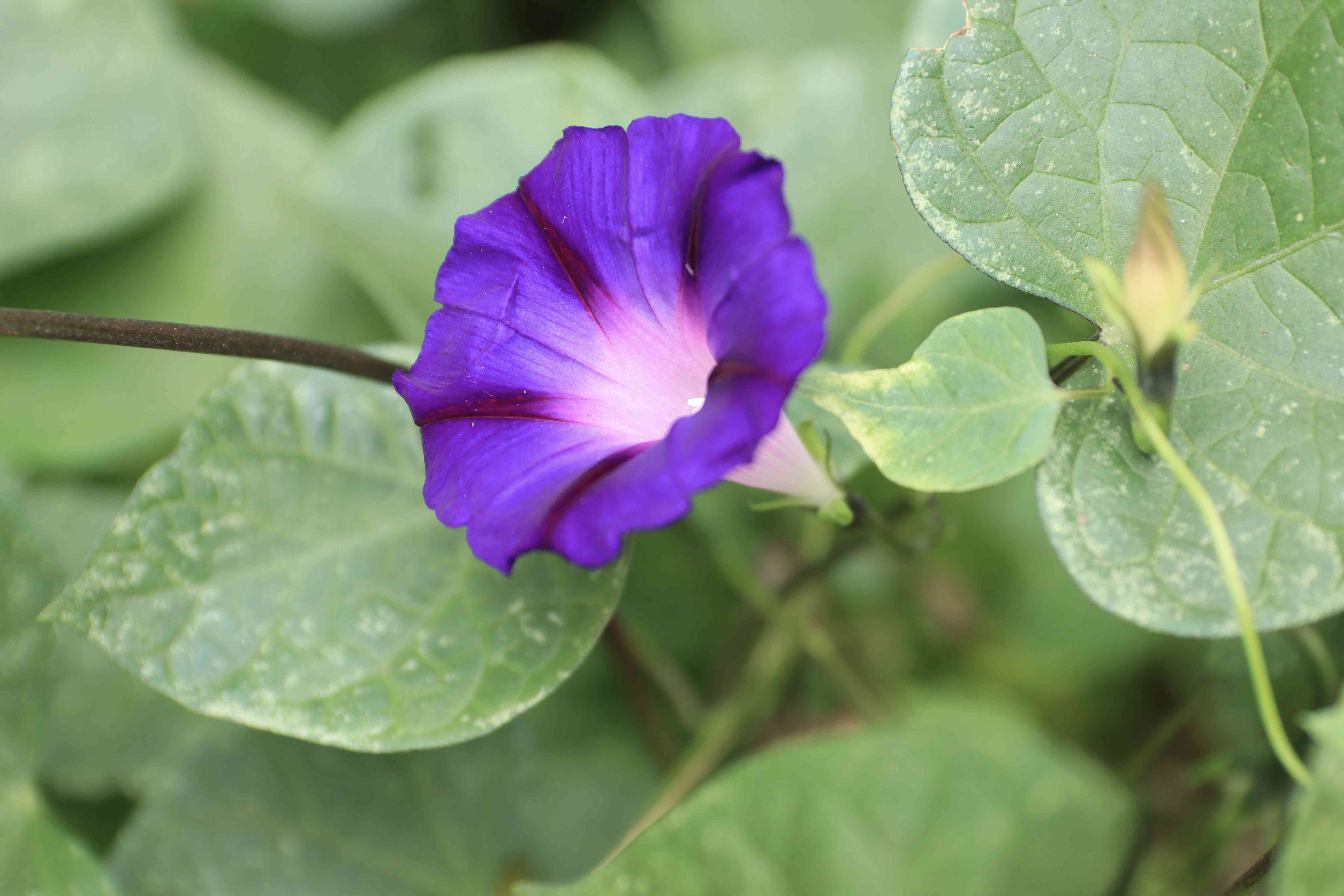 Purple Morning Glory Flower on a Sunny Day