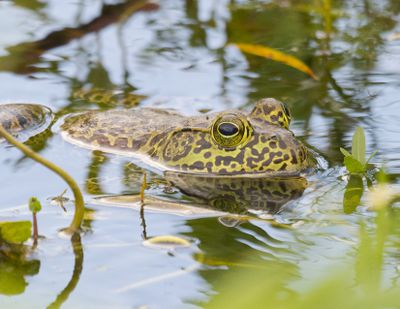 leopard frog swims with eyes above water