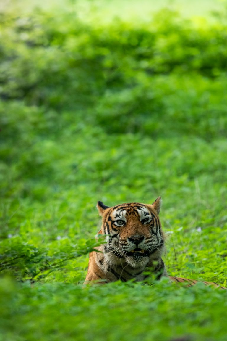 A tiger in the grass at Ranthambore park