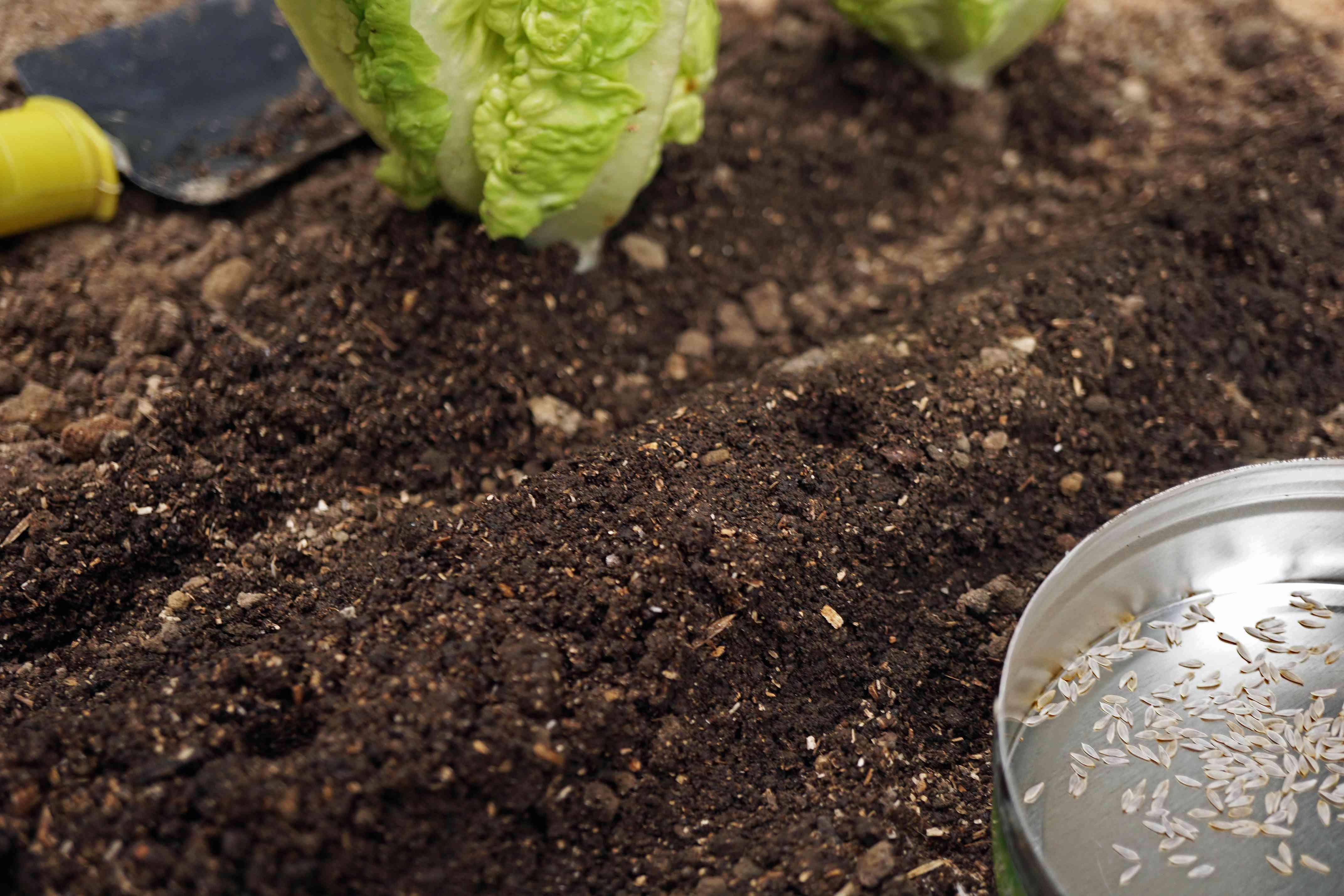 loose leaf lettuce seeds and dirt