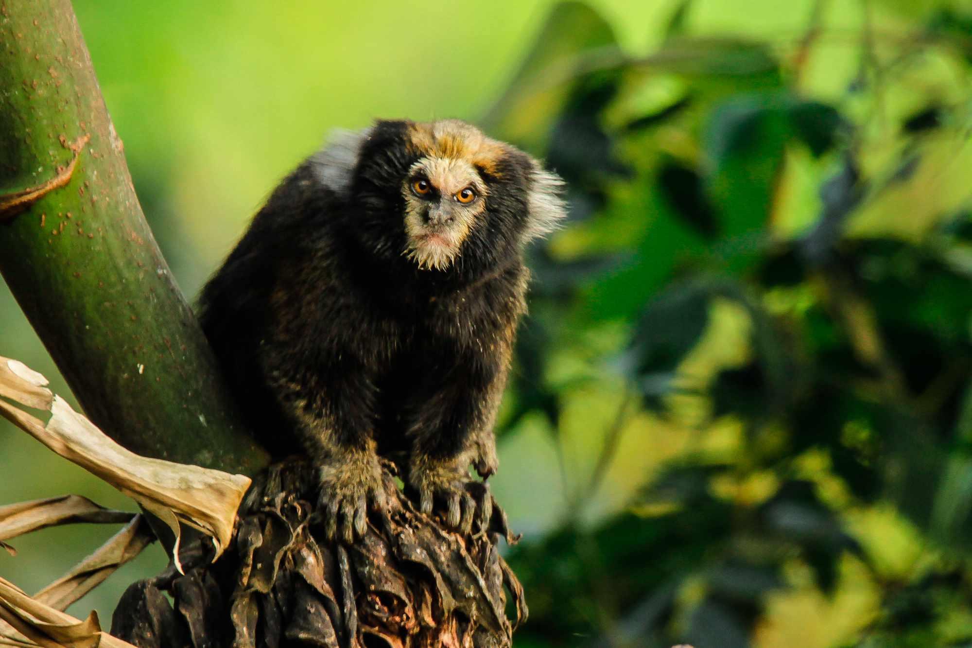 Buffy-tufted marmoset (Callithrix aurita) in Nazaré Paulista, Brazil
