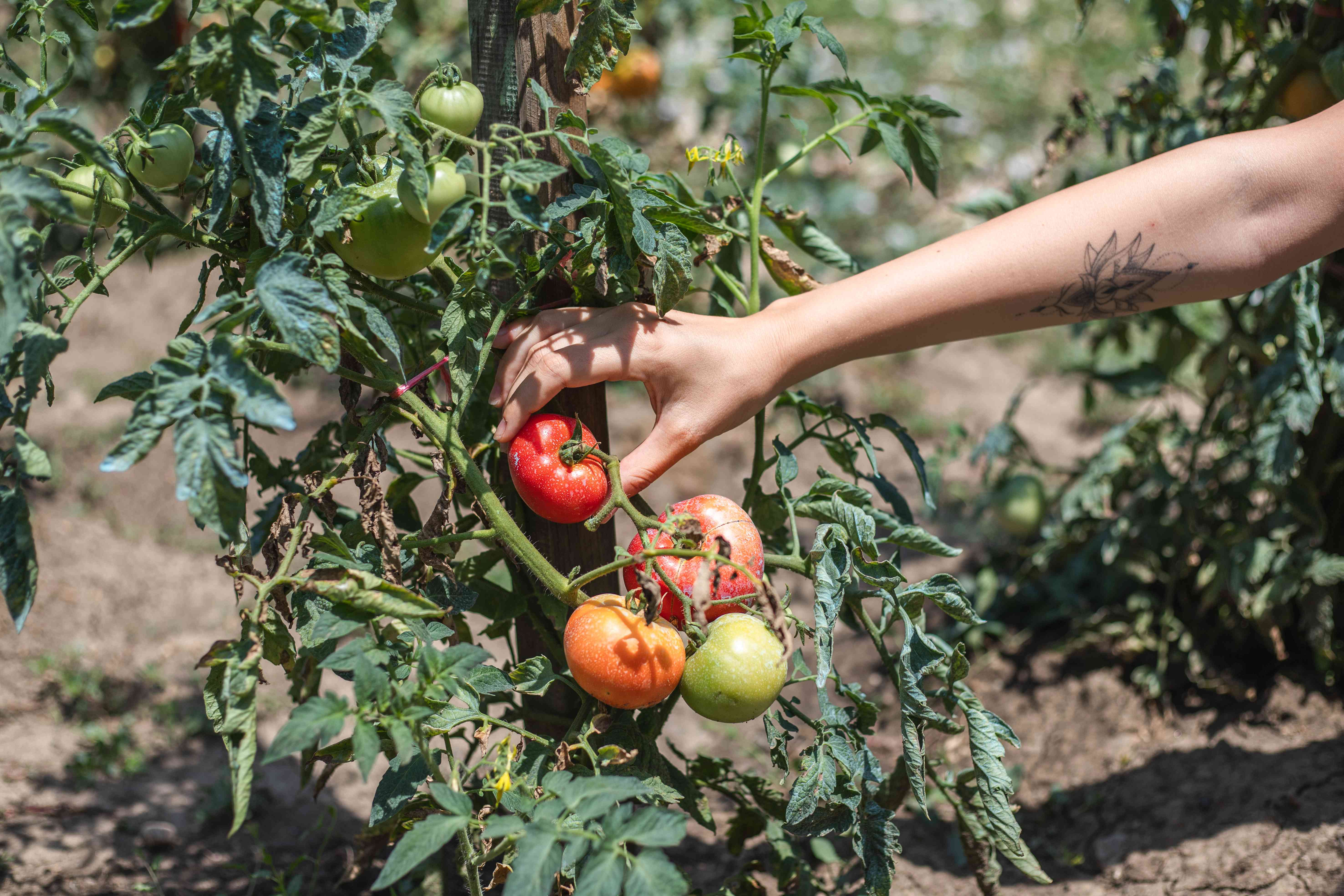 hand reaches out to puck ripe red tomato from growing tomato vine in garden