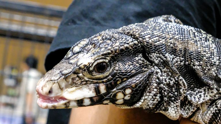 A close-up of an Argentine black-and-white tegu/