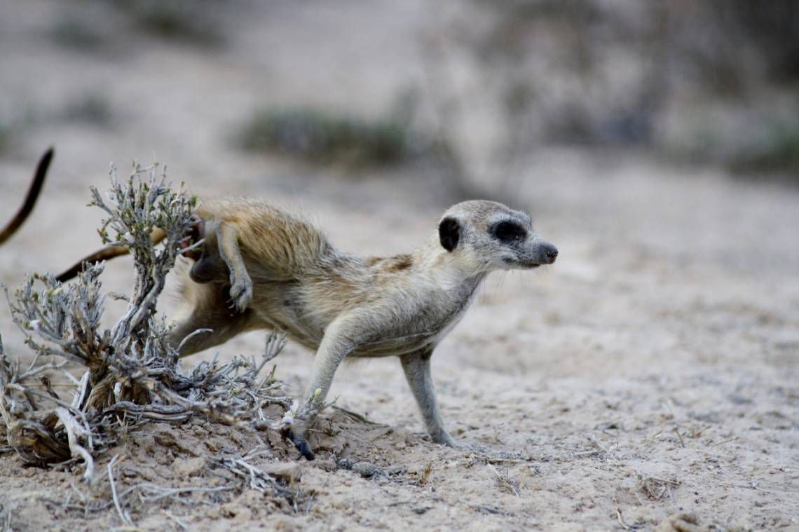 A meerkat wipes his scent on a shrub in South Africa's Kalahari Desert, marking his territory.