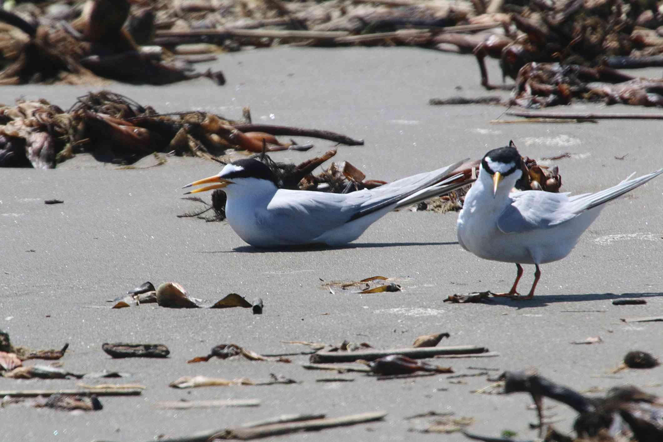 pair of least terns on the beach at Grand Isle, Louisiana