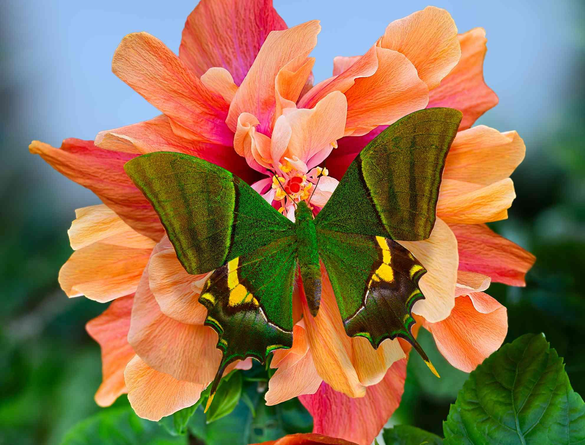 Emperor of India or Teinopalpus imperialis Papilio butterfly on Hibiscus rosa-sinensis Rukmini flower