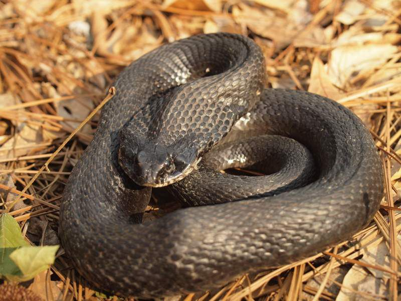 A hog nosed snake curls up in a ball and exudes a foul smelling liquid to play dead when threatened by a predator.