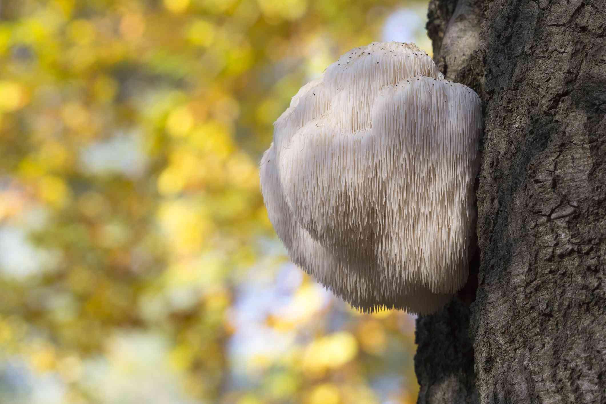 Lion's mane mushroom growing on a tree