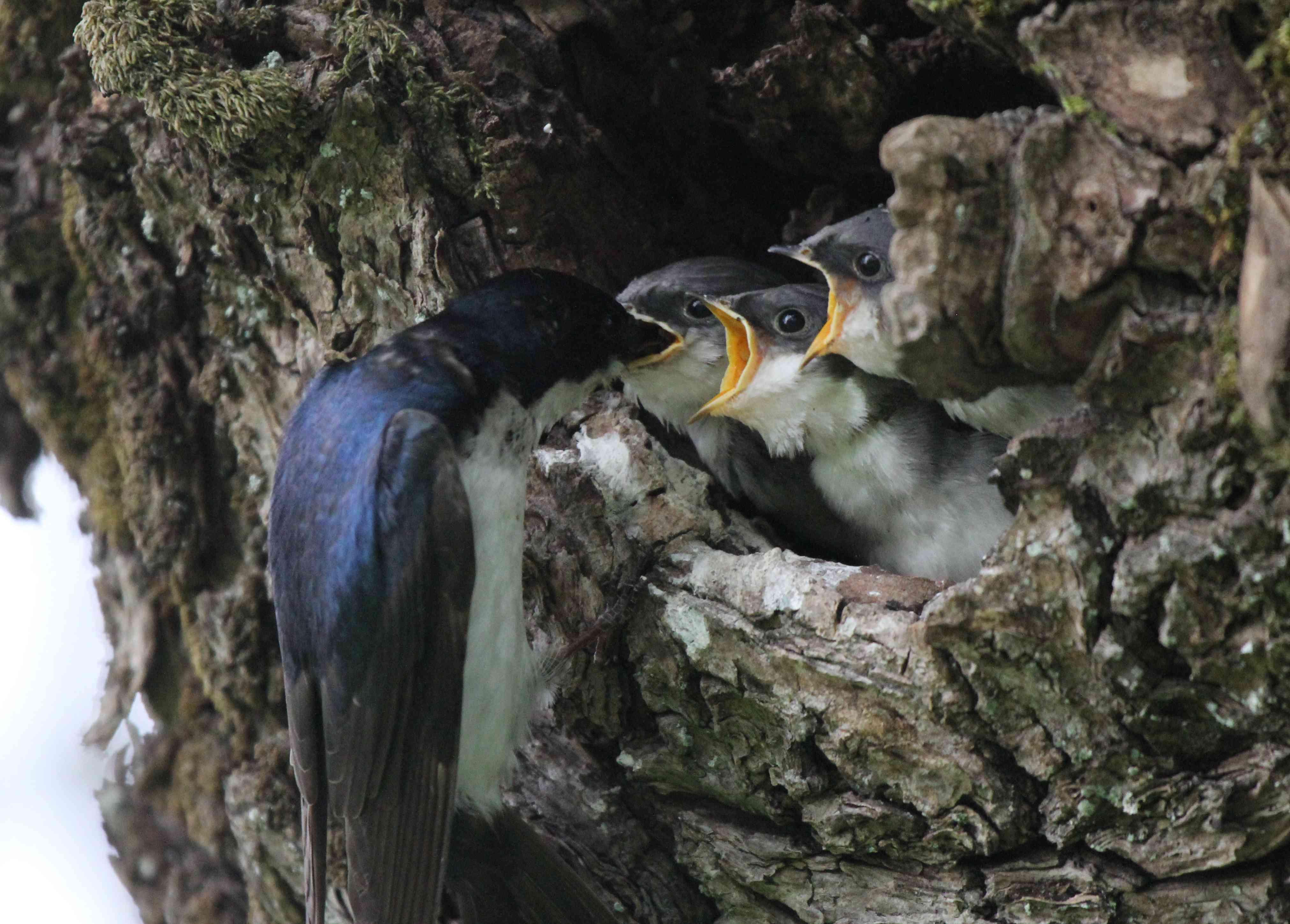 tree swallow nesting