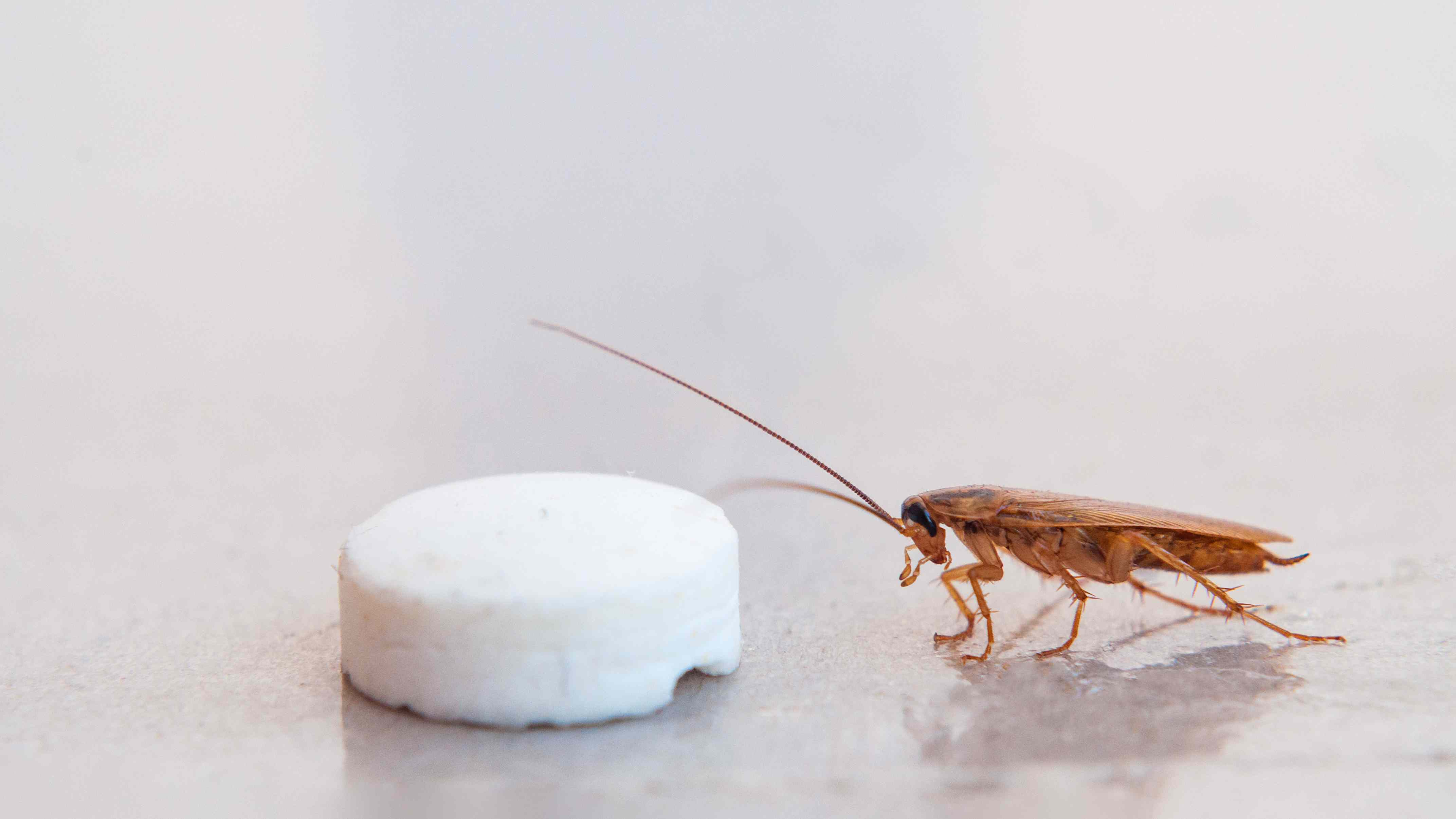 The cockroach crawled to the bait in the form of pills and fall into the trap of sticking to the sticky surface.