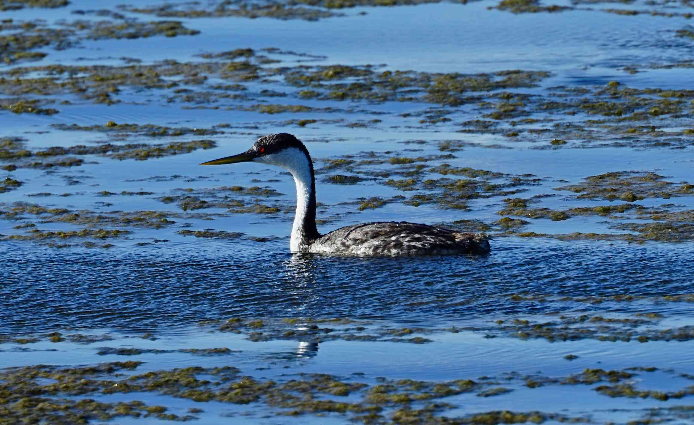 fire-eyed grebe with a long, white neck floating in Tule Lake, California surrounded by seaweed
