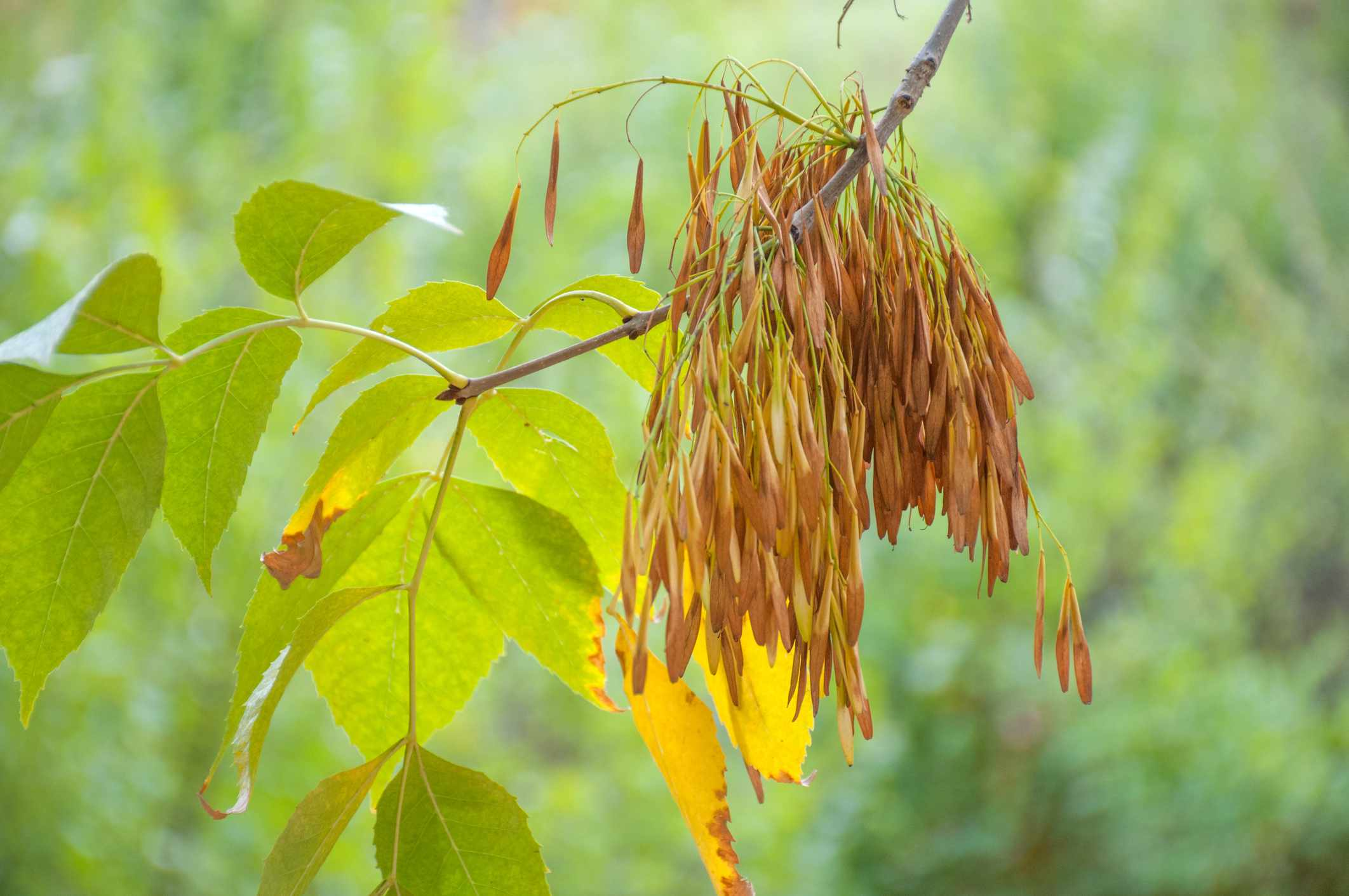Pods and leaves on a branch of a Green Ash tree.