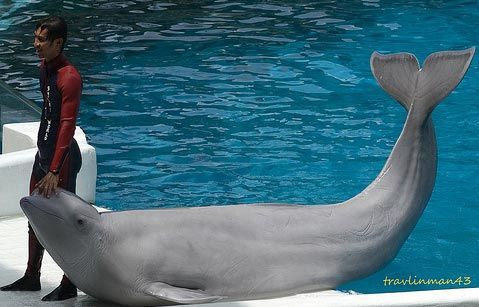 beluga whale and diver photo