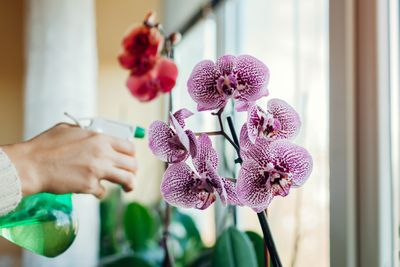Woman spraying water on blooming orchid on window sill. Girl taking care of home plants and flowers.