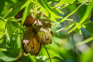 Pecan nuts surrounded by green leaves hanging on a Hickory tree.