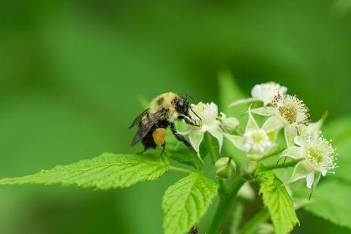 Bumblebee on Black Raspberry Flowers