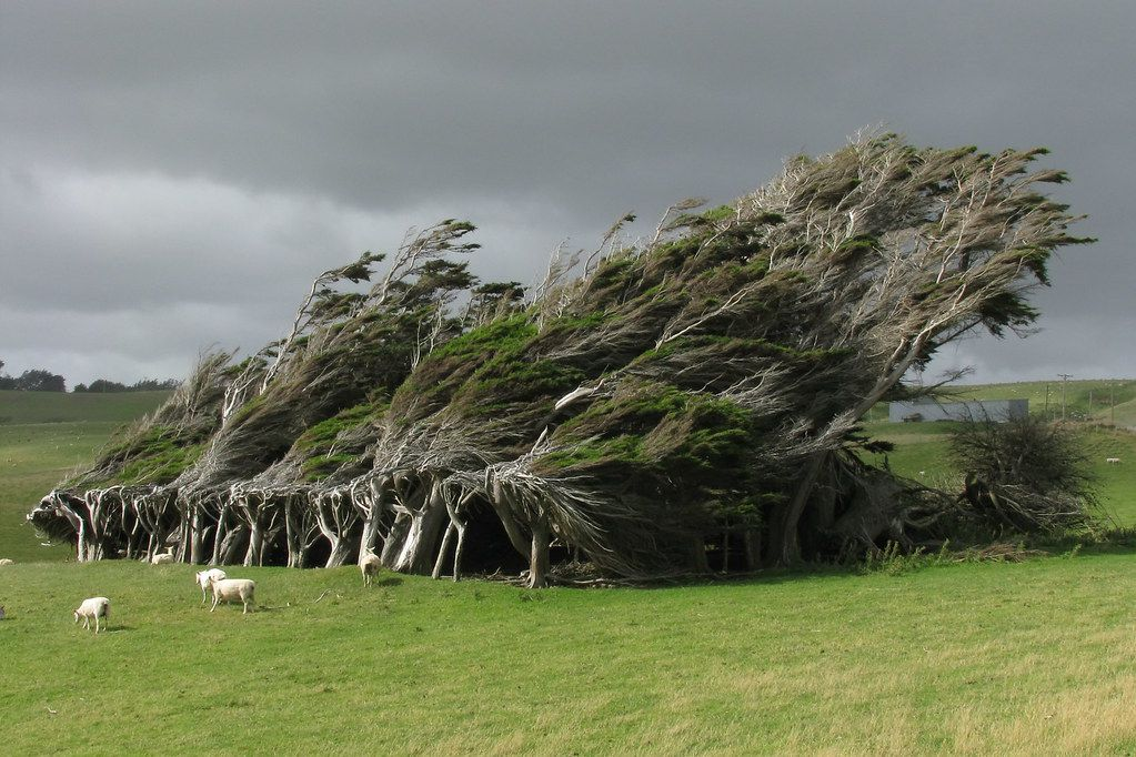 Sheep graze near bent trees in Slope Point in New Zealand.