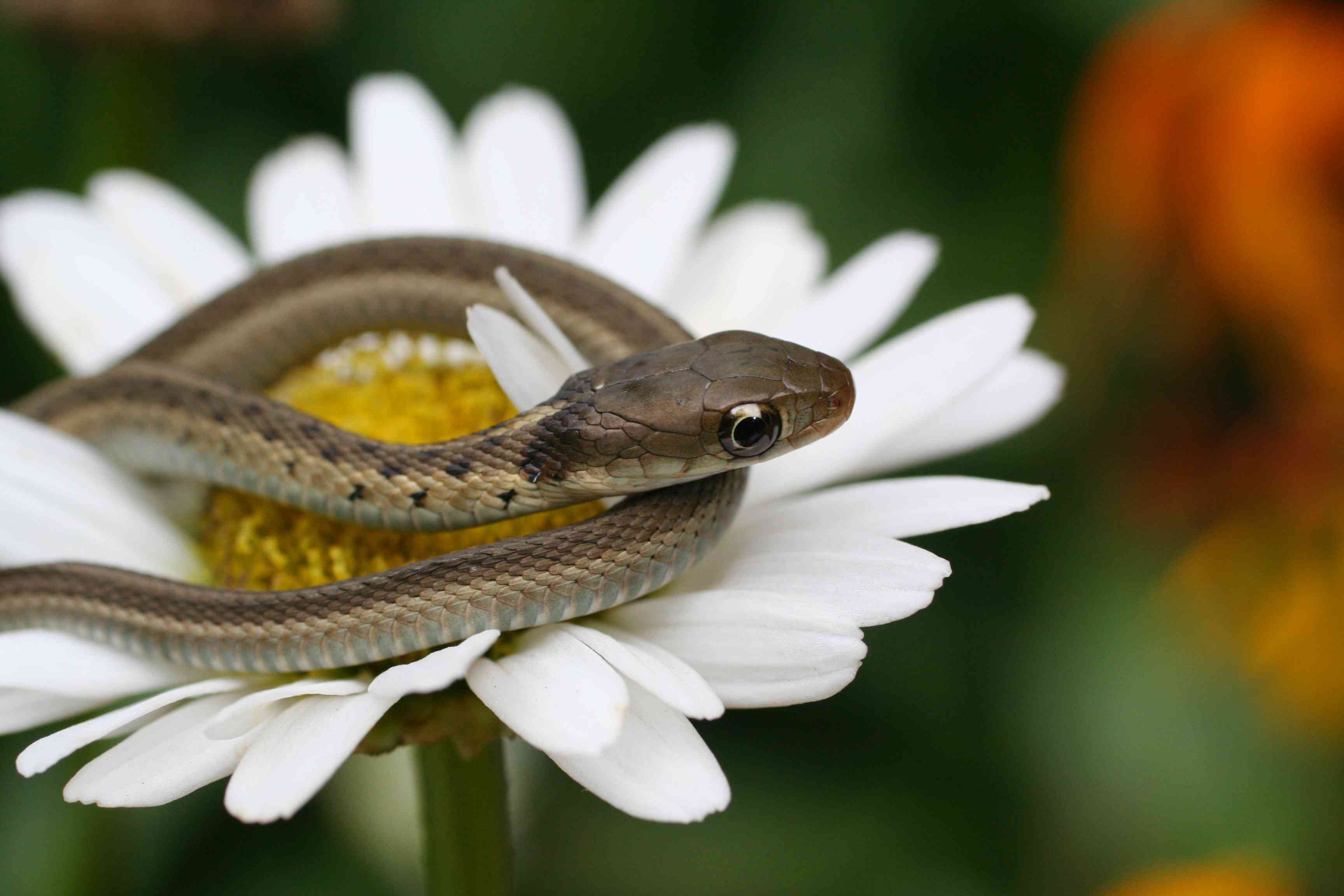 Baby garter snake on a daisy blossom