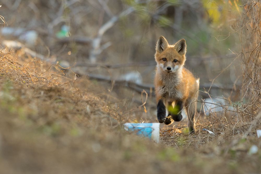 Urban foxes can make use of surprisingly small strips of green space. Unfortunately, those green spaces can be full of litter.