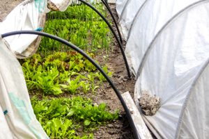 Hoops around lettuce and onions that support a low tunnel garden.