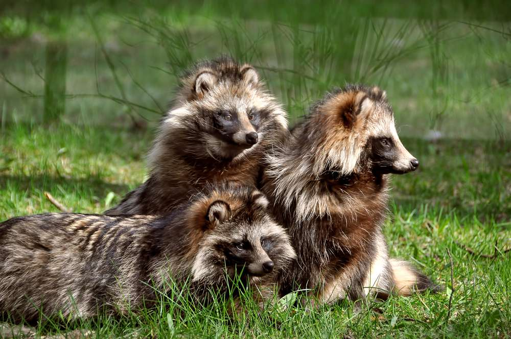 A family of tanuki lies in the grass