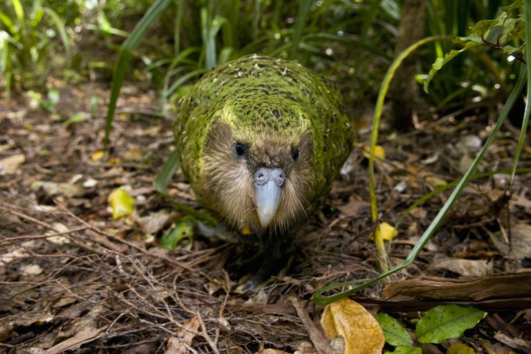 Kakapo walking on the ground