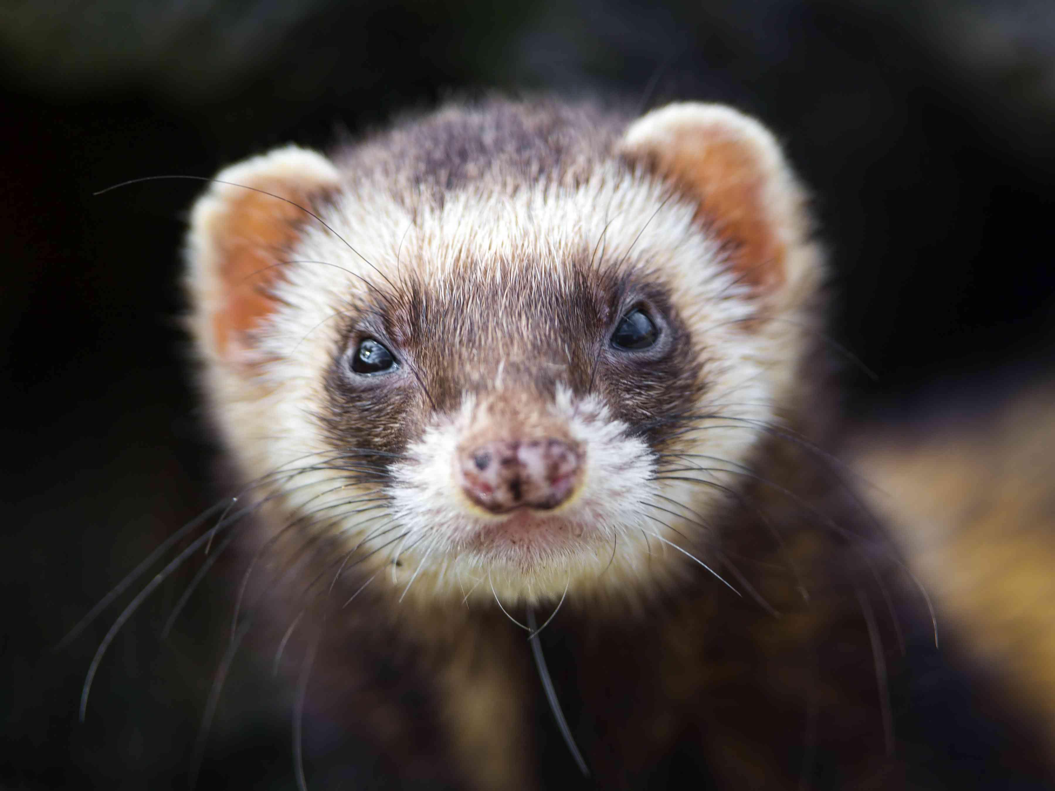 Shy but cute ferret