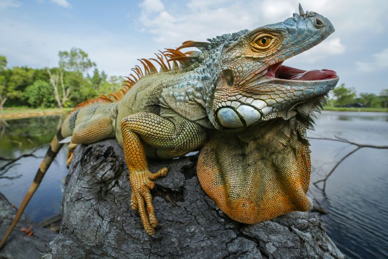 A green iguana from Indonesia sitting on a grey rock with its mouth open