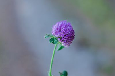 single purple clover with blurred background