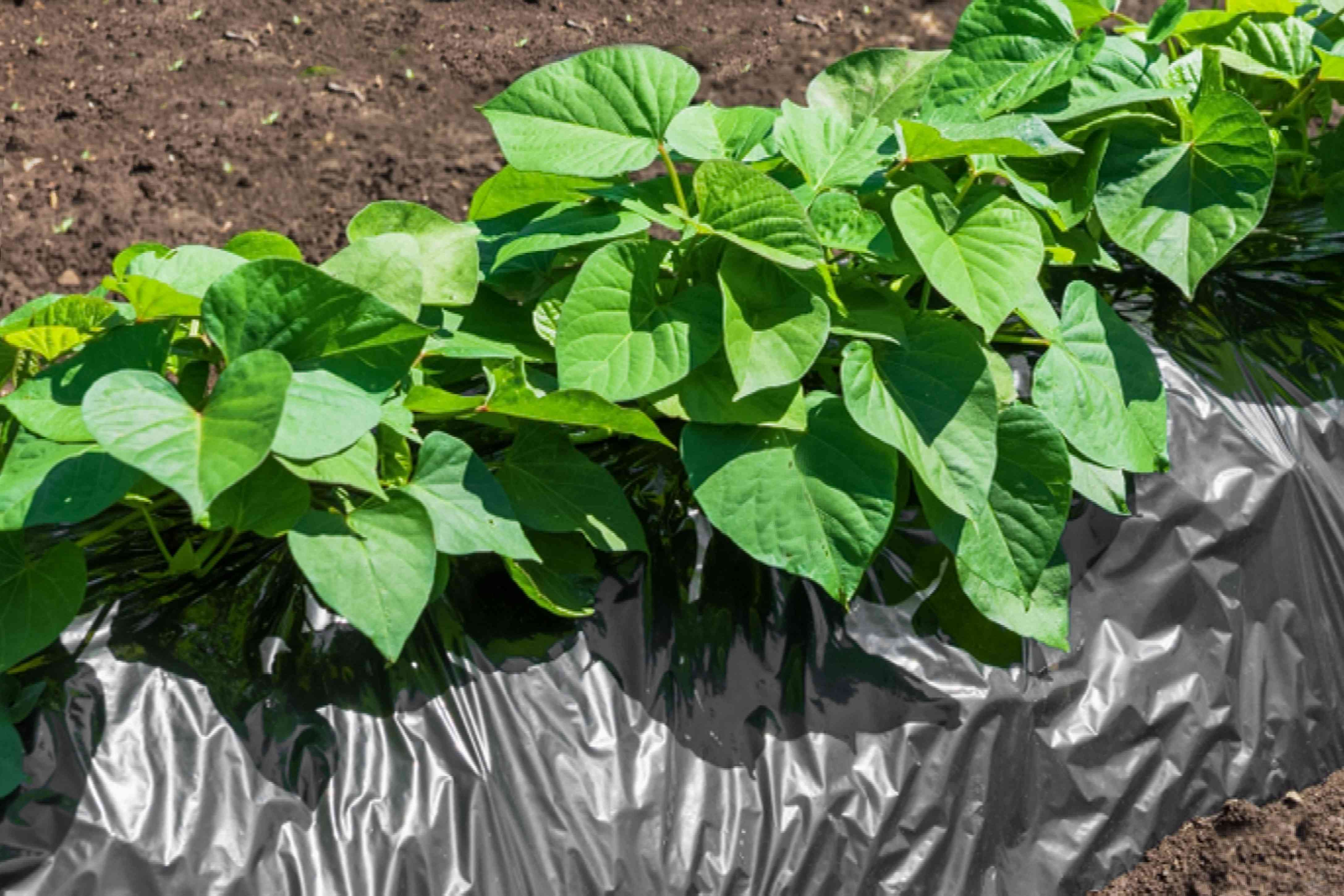 close view of sweet potato greens and vines in ground with black tarp covering