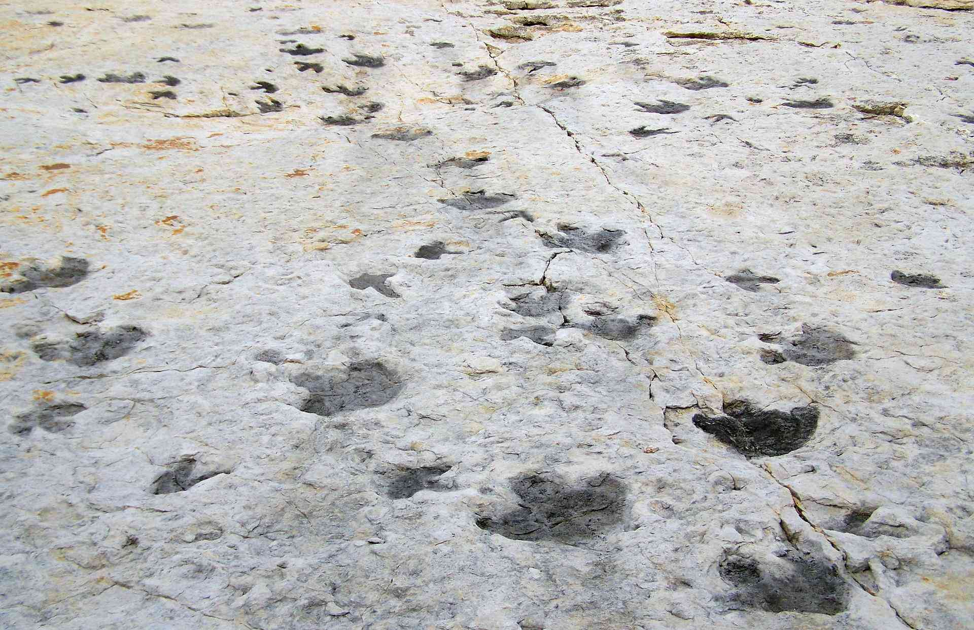 A collection of dinosaur tracks seen in smooth, gray rock