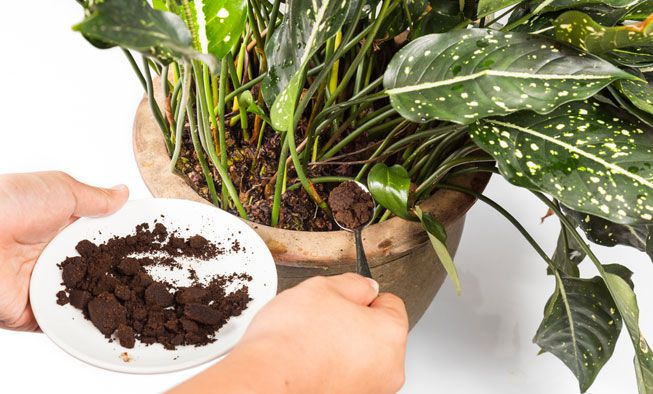 A person spoons coffee grounds into a potted plant