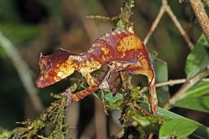 brown and yellow satanic leaf-tailed gecko on a branch